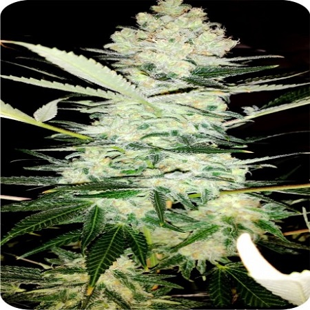 Dispensario Seeds Clinical Feminized