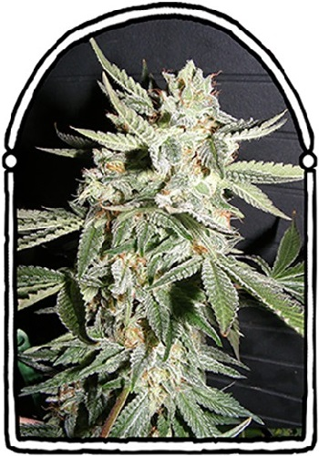 The KushBrothers Seeds Confidential Medicine Feminized