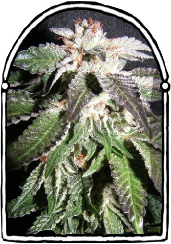 The KushBrothers Seeds Confidential OG Feminized
