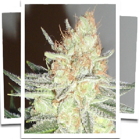 Emerald Triangle Seeds Cotton Candy Cane Regular