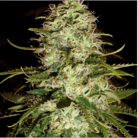 BlimBurn Seeds CR+ Feminized