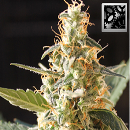 BlimBurn Seeds Cream Automatic Feminized