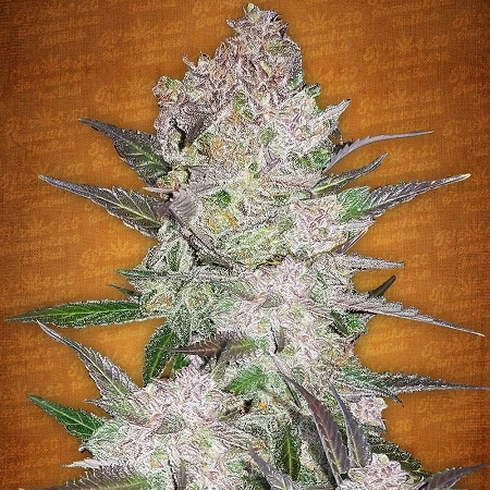 Fast Buds Seeds Cream Cookies Auto Feminized