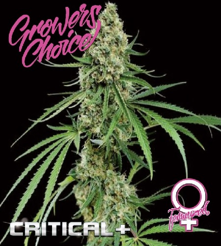 Critical+ - Feminized - Growers Choice