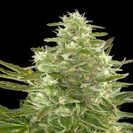 Dinafem Seeds Critical+ Auto Feminised