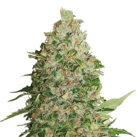 Seed Stockers Seeds BCN Critical XXL Feminized
