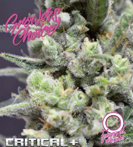 Critical+ Auto - Feminized - Growers Choice