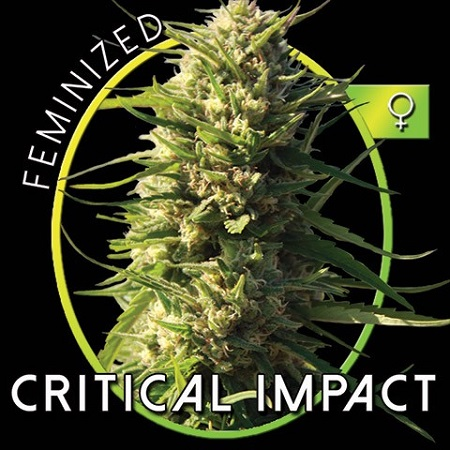 Vision Seeds Critical Impact Feminized