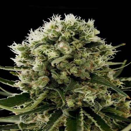 Dinafem Seeds Critical Jack Feminized