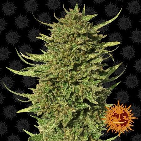 Barney's Farm Seeds Critical kush™ Regular
