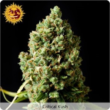 Barney's Farm Seeds Critical Kush Feminized (PICK N MIX)