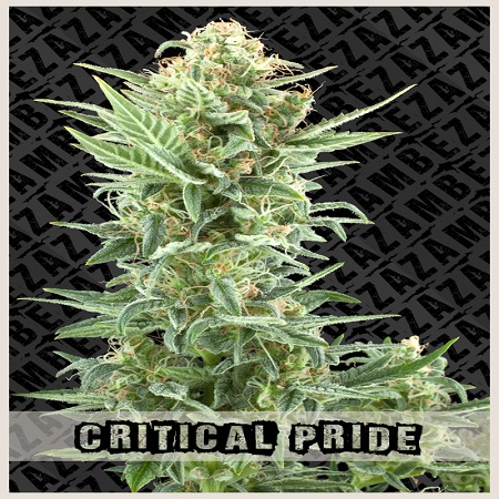 Zambeza Seeds Critical Pride Feminized