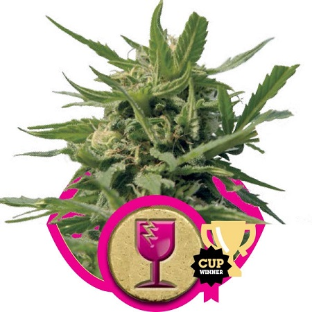 Royal Queen Seeds Critical Feminized