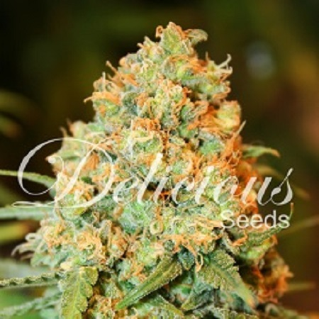 Delicious Seeds Critical Super Silver Haze Feminized