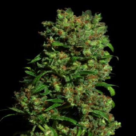 VIP Seeds Critical VIP Feminized