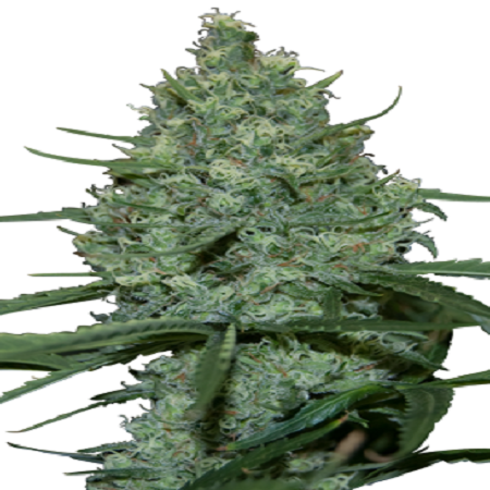 Seedmakers Seeds Critical Feminized