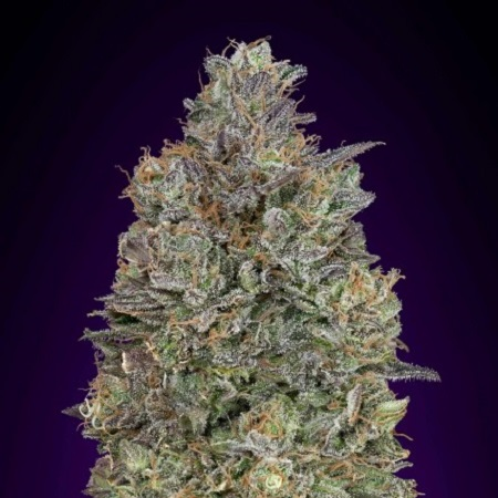 Critical Purple Kush - Feminized  - Advanced Seeds