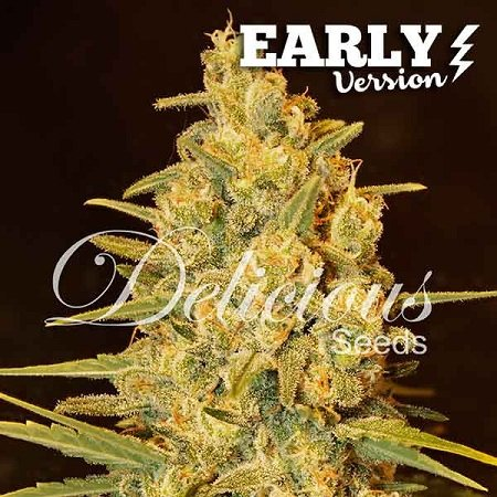 Delicious Seeds Critical Sensi Star Early Version Feminized