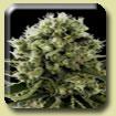 Dinafem Seeds Critical Jack Feminized (PICK N MIX)