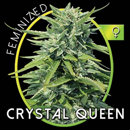 Vision Seeds Crystal Queen Feminized