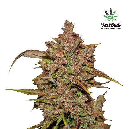 Cristal Meth Auto – Feminized – Fast Buds