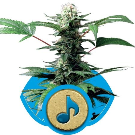 Royal Queen Seeds Dance World Feminized