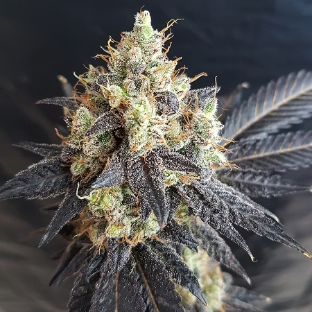 Lineage Genetics Seeds Black Devil's O.G. Feminized