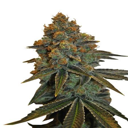 CBD Botanic Seeds CBD D Diesel Feminized