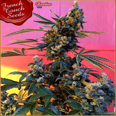 French Touch Seeds Deedee BX1 Regular