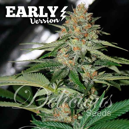 Delicious Seeds Delicious Candy Early Version Feminized