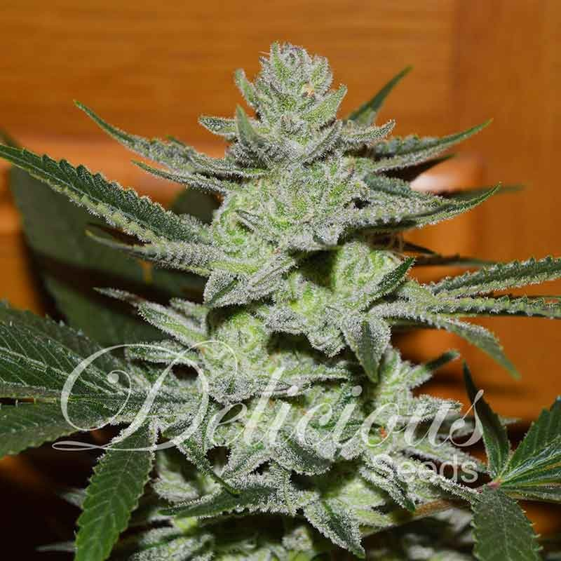 Delicious Seeds Desconocida Kush Feminized