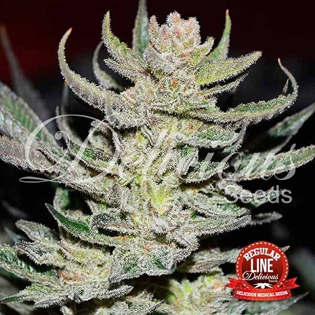 Delicious Seeds Desconocida Kush Regular