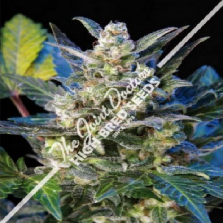 The Joint Doctor Seeds Diesel Ryder Auto Feminized
