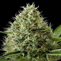 Dinafem Seeds Dinamex Feminised (PICK N MIX)
