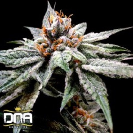 DNA Genetics Seeds DJ's Gold Feminized
