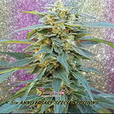 Dr Krippling Seeds D.K. Won Feminized
