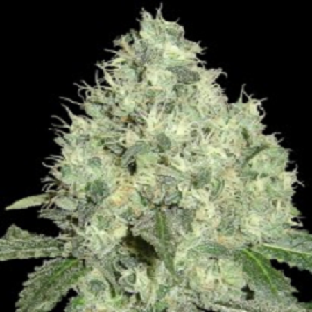 DNA Genetics Seeds Limited Collection 91' Krypt Regular