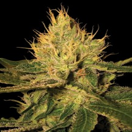 DNA Genetics Seeds Cannalope Haze Regular