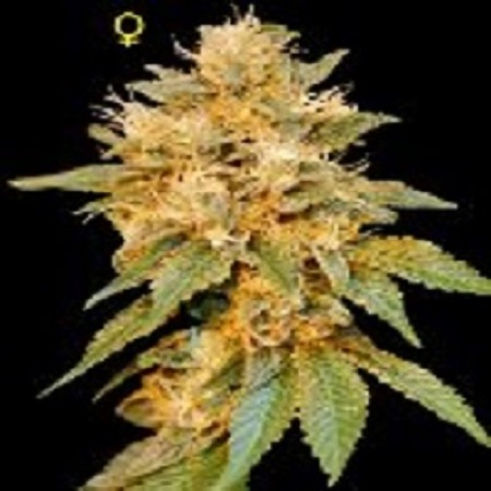 DNA Genetics Seeds Limited Collection SnowLAnd Feminized