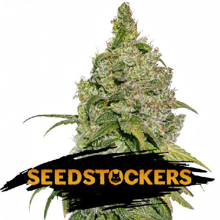 Do-Si-Dos - Feminized - Seed Stockers