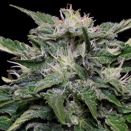 Don Blueberry Auto - Feminized - Don Avalanche Seeds
