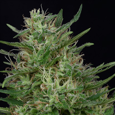 Don Green Crack - Feminized - Don Avalanche Seeds