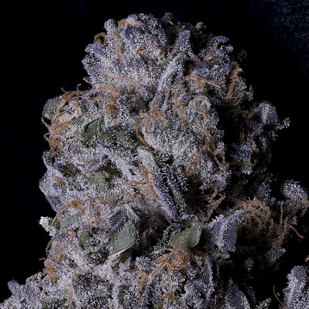 Don Purple Dick - Feminized - Don Avalanche Seeds