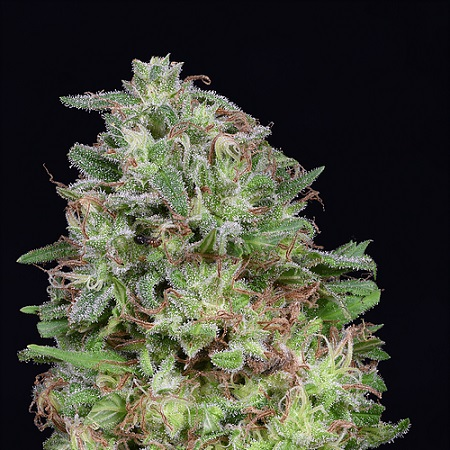 Don White Widow - Feminized - Don Avalanche Seeds