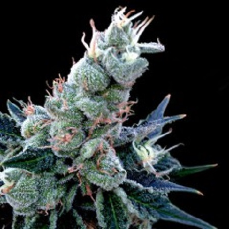 DNA Genetics Seeds GYO Collection Double Alien 18 Feminized