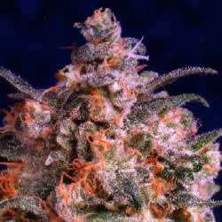 Dutch Passion Seeds Brainstrom Feminized
