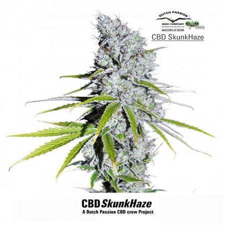 Dutch Passion Seeds CBD Skunk Haze Feminized