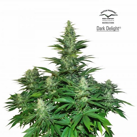 Dutch Passion Seeds Dark Delight Feminized