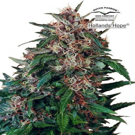 Dutch Passion Seeds Holland's Hope Feminized