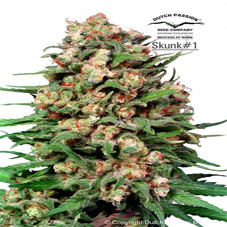 Dutch Passion Seeds Skunk #1 Regular
